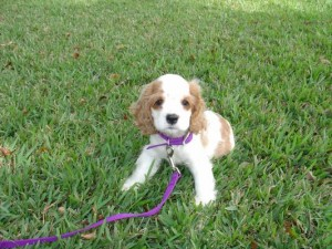 2e1ax_default_entry_AMERICAN_COCKER_SPANIEL_PUPPY_7_WEEKS